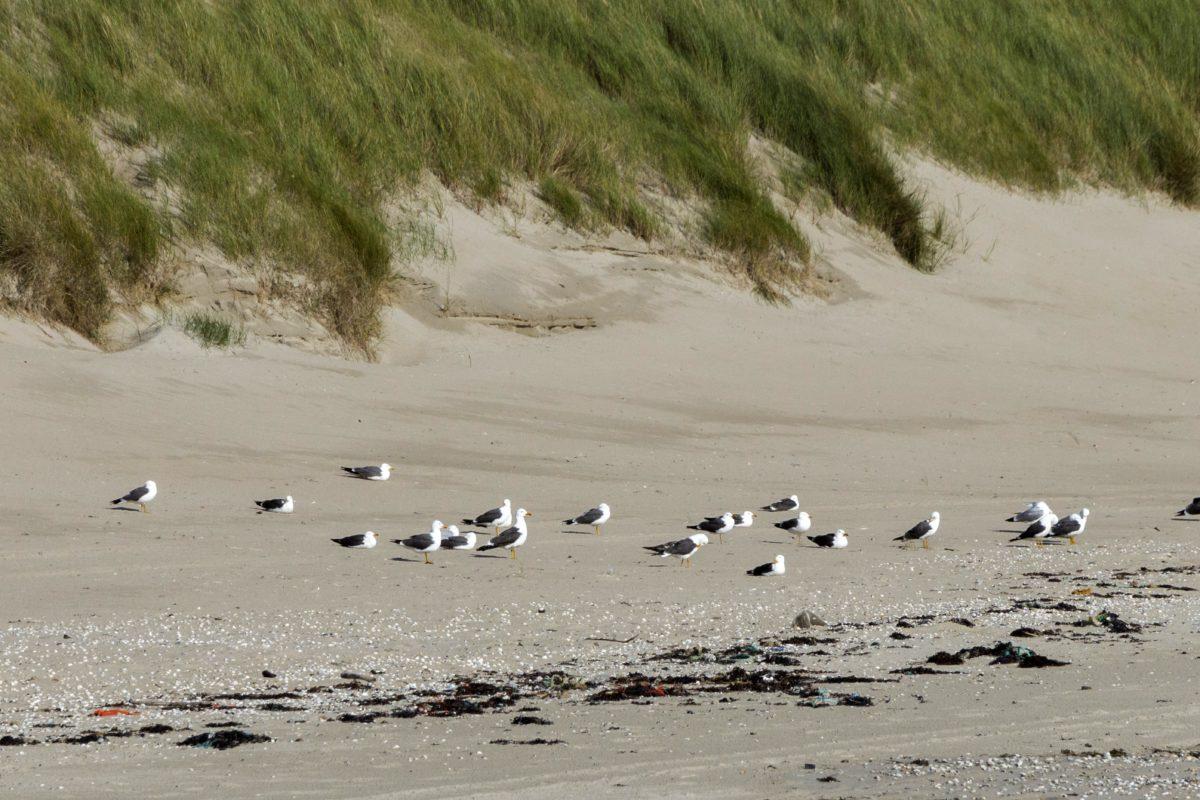 カモメ, 鳥, 海, 海洋, ビーチ, 砂, 水, 風景, 自然, 海岸