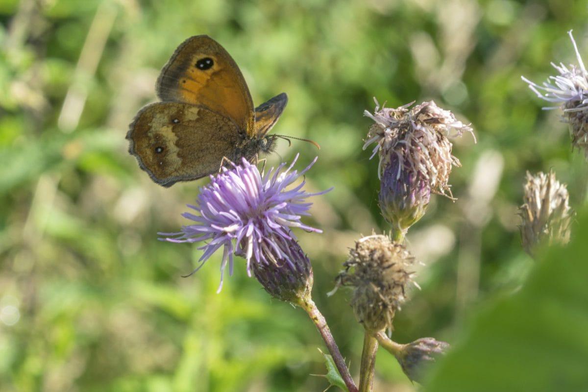 virág nektár, rovar, nyár, kert, állat, színes pillangó, természet