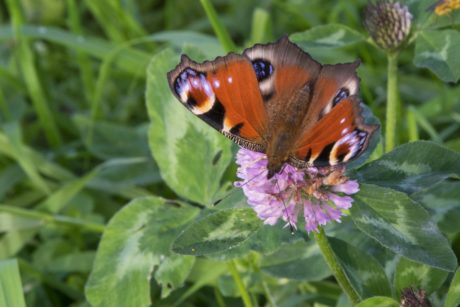 summer, butterfly, flower, nature, insect, peacock, plant