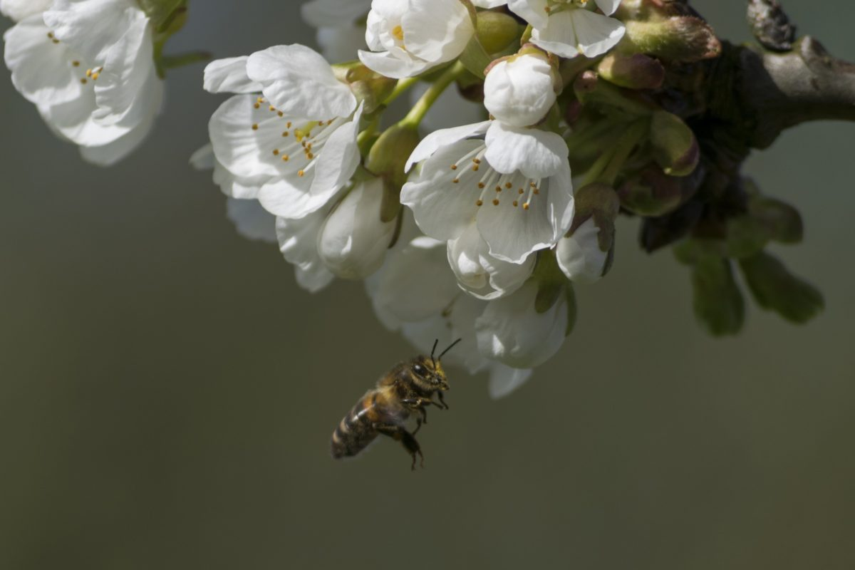 bee, flower, nature, apple tree, insect, insect, pollen