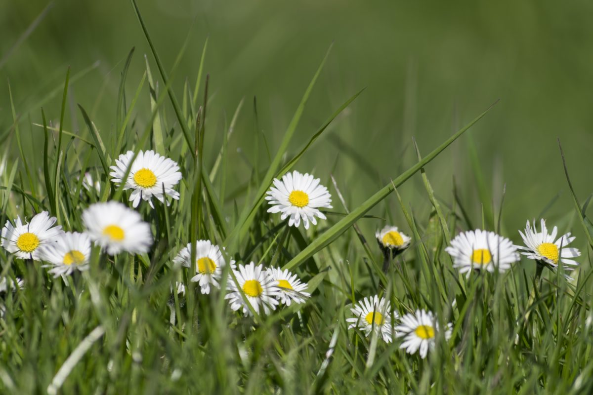 fiore della Margherita, prato inglese, campo, erba, giardino, estate, natura, erba