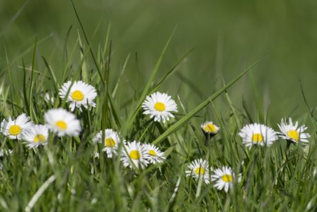 daisy flower, lawn, field, grass, garden, summer, nature, herb