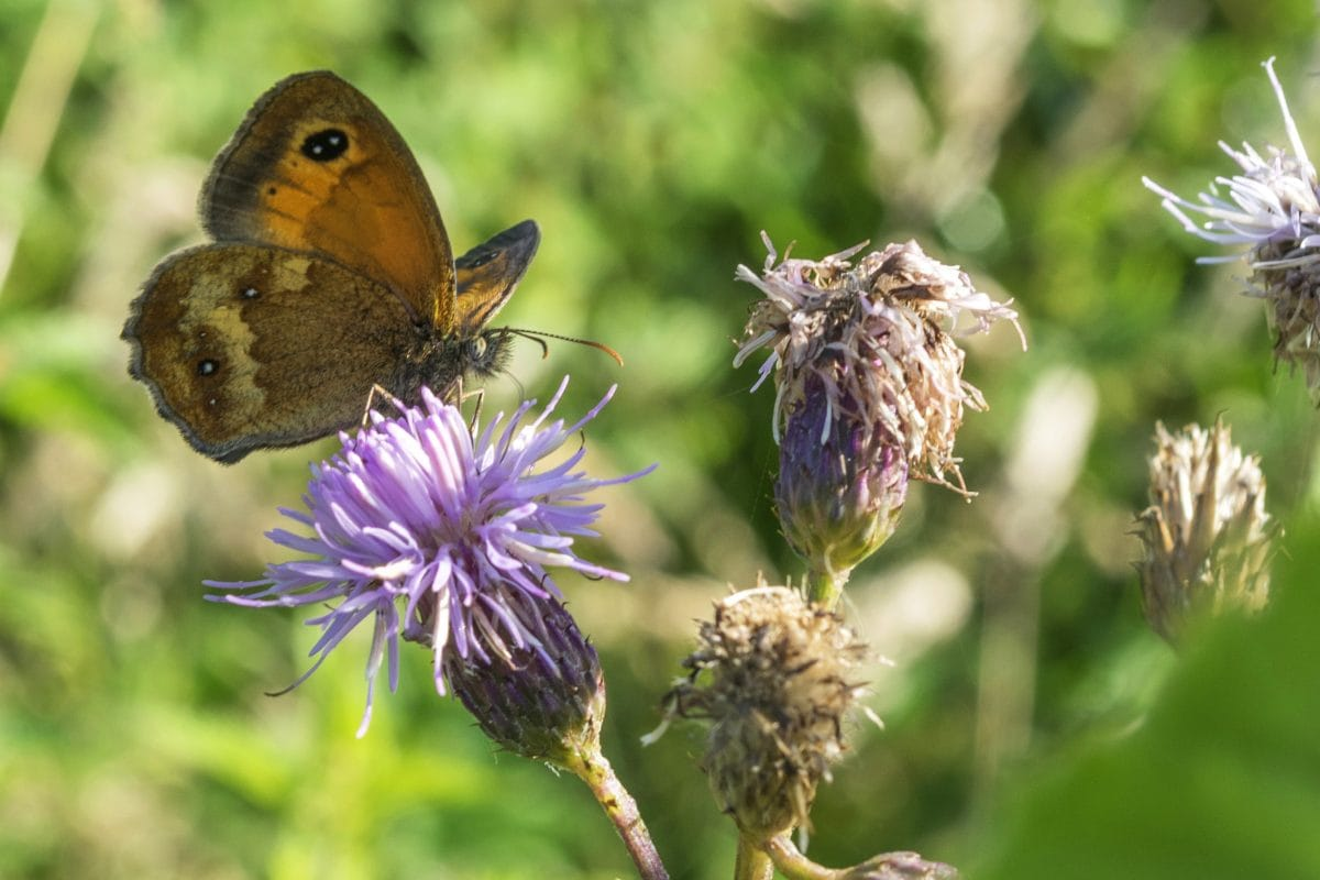 Puutarha, hyönteinen, luonto, kukka, villi, kesä, perhonen, yrtti