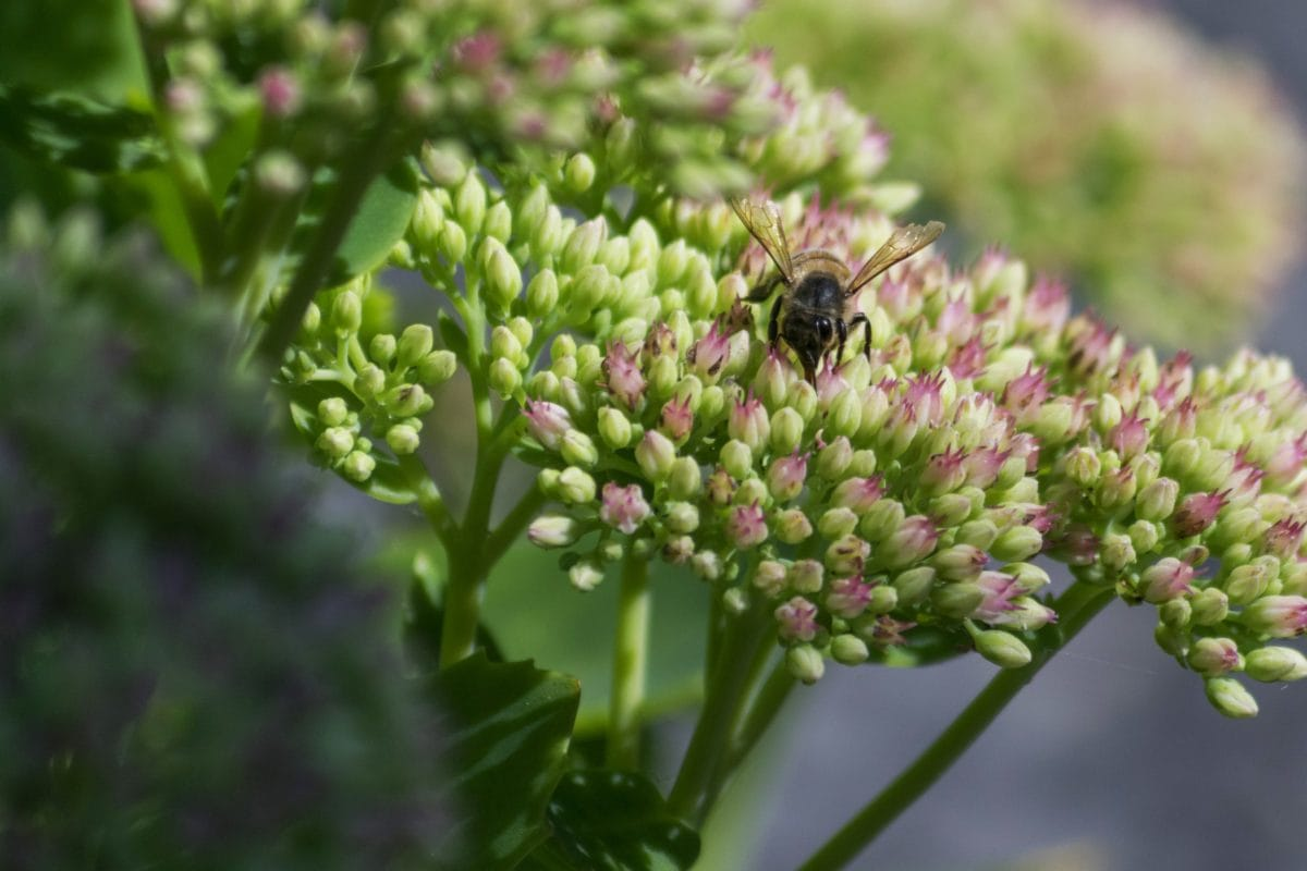 kukac, pčela, priroda, cvijet, divlja, biljka, biljka, Hortikultura, ljetno