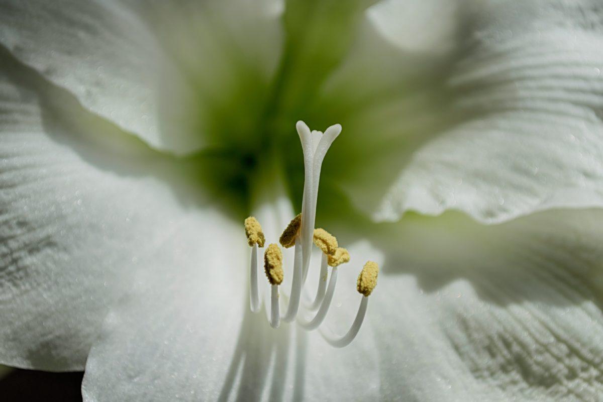 lys blanc, fleur, pétale, feuille, jardin, pistil, détail, beau, nature, blanc