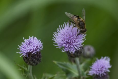 bee, insect, nature, herb, plant, purple flower, blossom, garden