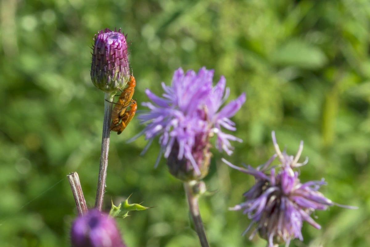 blad, sommer, have, blomst, bug, sommer, urt, plante, insekt