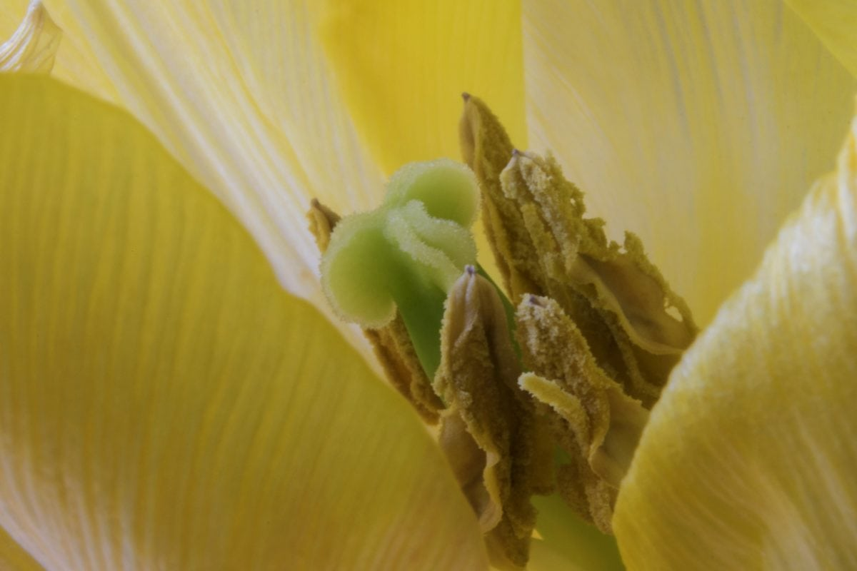 pestík, pyl, nektar, detail, příroda, bílý květ, rostlina