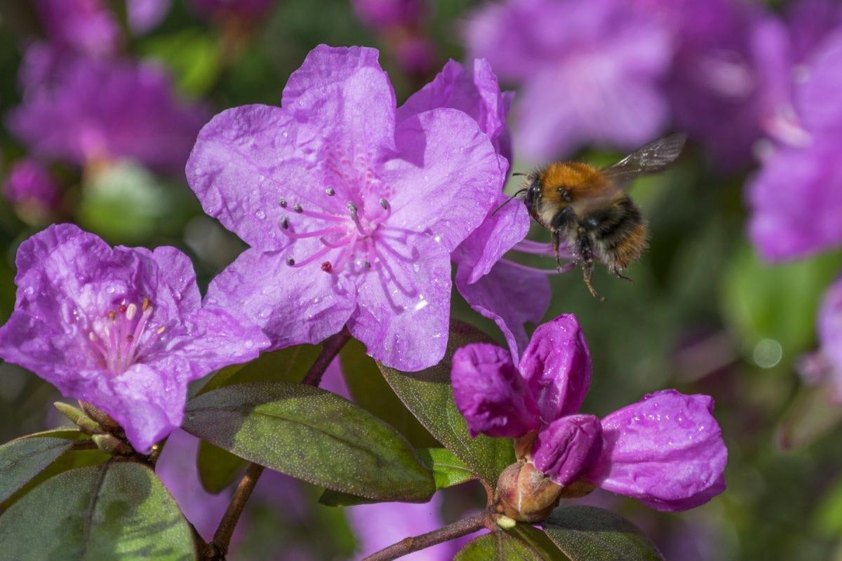 garden, bumblebee, nature, bee, leaf, pink flower, summer, plant, herb, pink