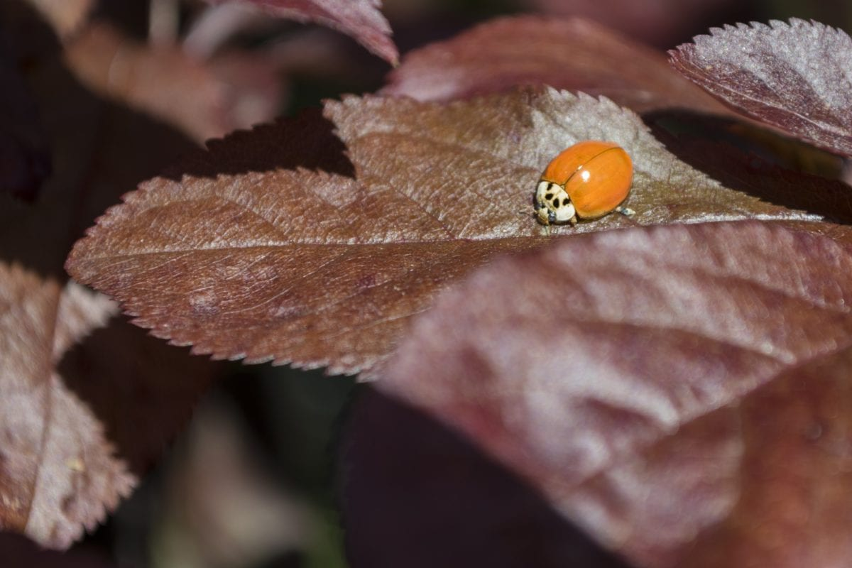 leaf, wood, tree, nature, ladybug, beetle, insect, arthropod
