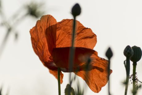 flower, nature, red poppy, shadow
