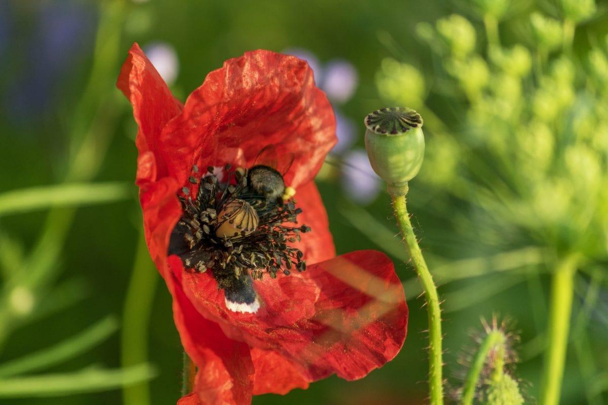 цвете, червен Мак, див, Градина, цвете пъпка, природа, пчела, насекомо, лято