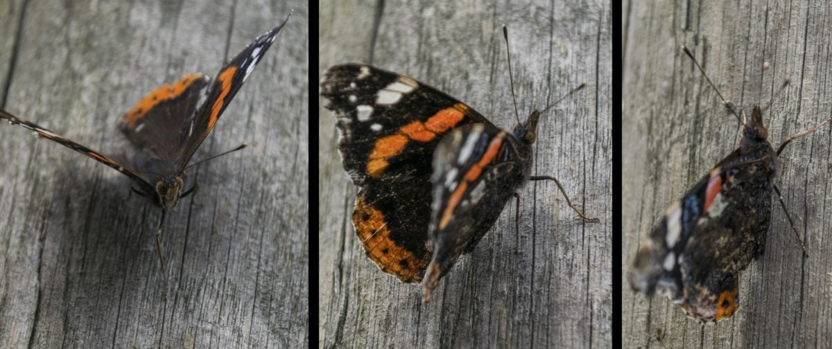 butterfly, metamorphosis, invertebrate, moth, summer, insect, wood, nature