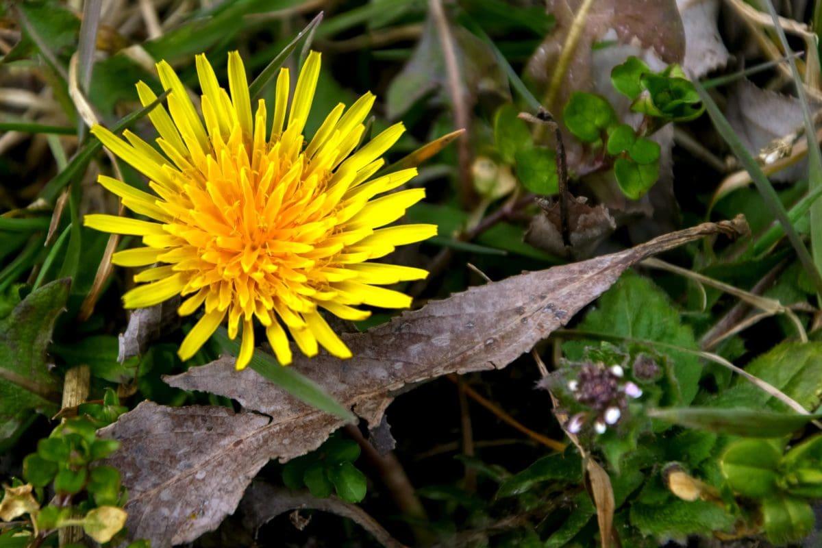 natur, blad, gul blomst, have, mælkebøtte, urt, plante, blomstre