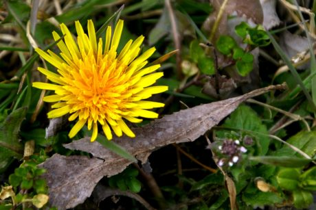 nature, leaf, yellow flower, garden, dandelion, herb, plant, blossom