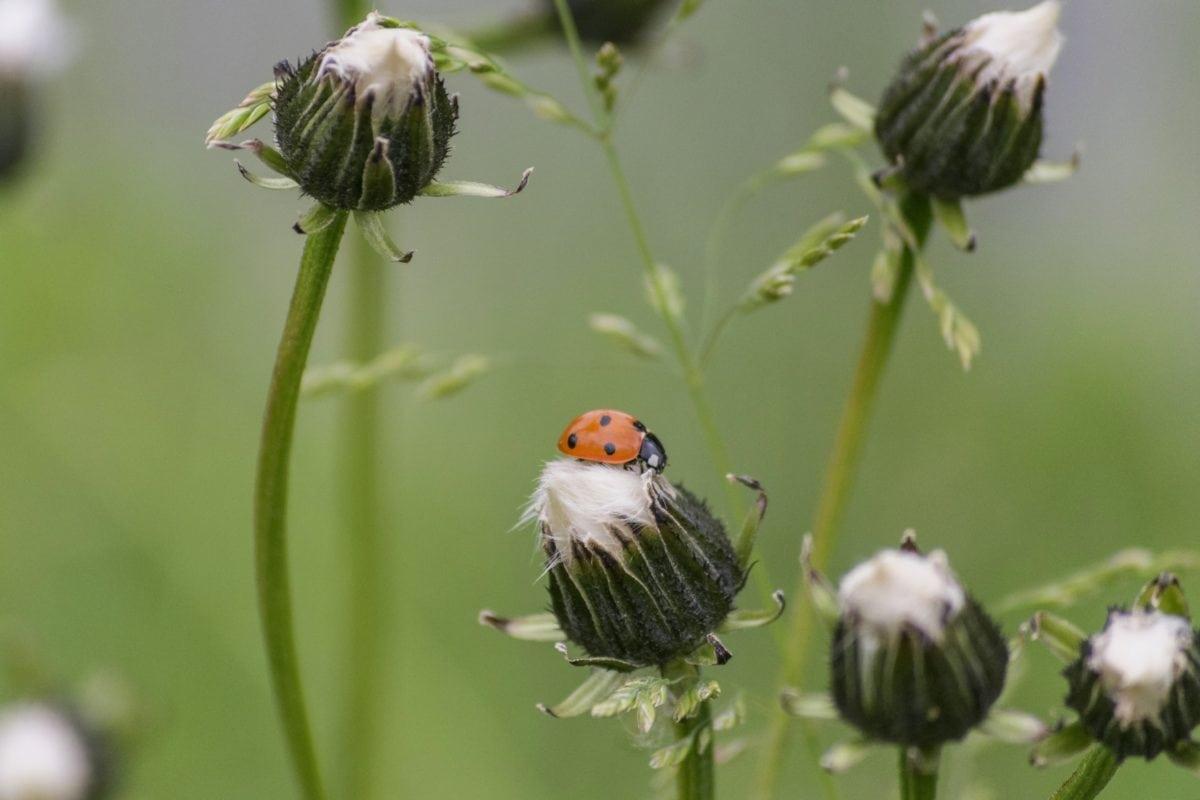 příroda, květiny, tráva, hmyz, beruška, brouk, rostlina, zahrada