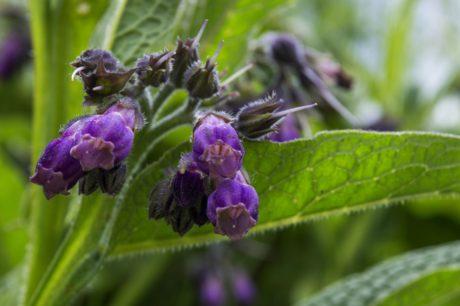 blad, natuur, Tuin, kruid, plant, purple flower