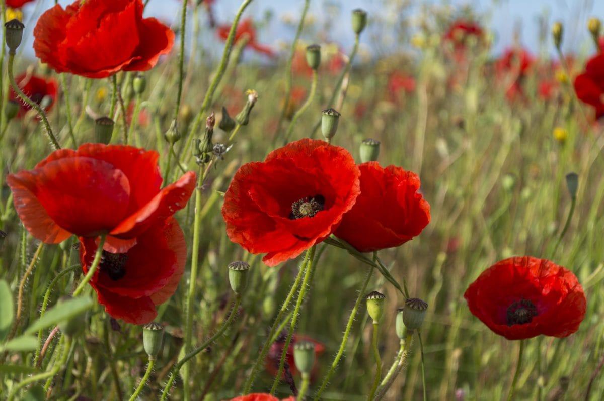 Sommer, Garten, Natur, roter Mohn, Blume, Gras, Feld