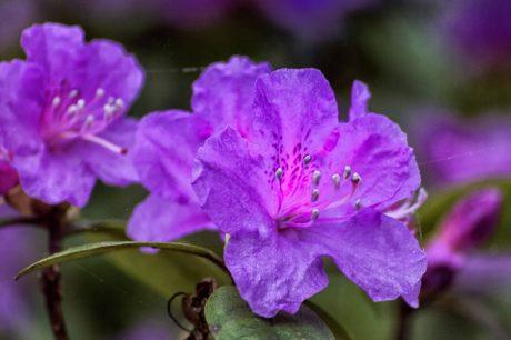 příroda, list, růžový květ, pestík, rododendron, rostlina, okvětní lístek, růžová, zahrada
