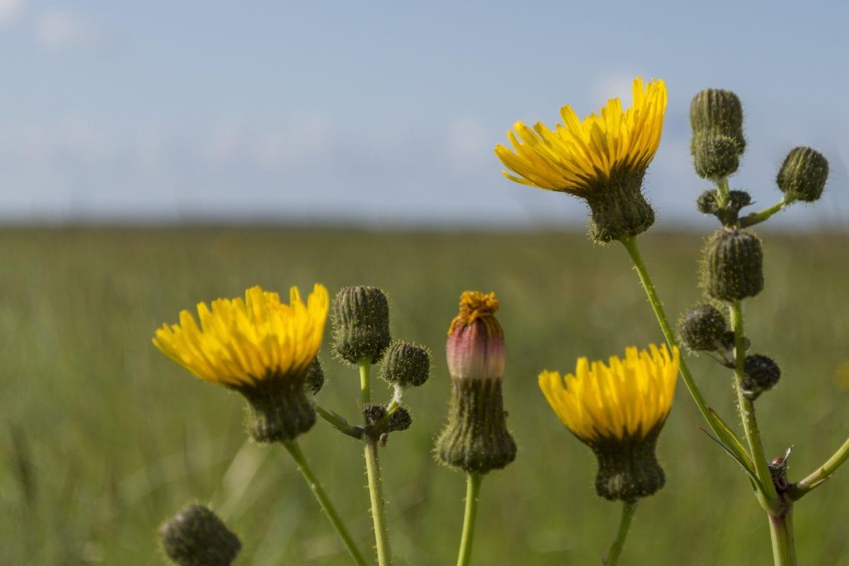 pole, lato, żółty kwiat, natura, roślina, ziele, kwiat