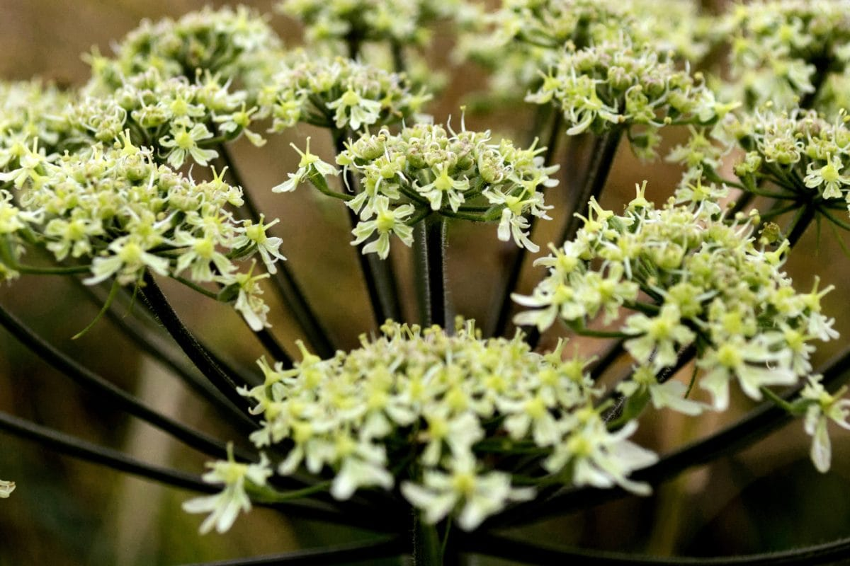 jardín, verano, hoja verde, flor blanca, naturaleza, hierba, planta