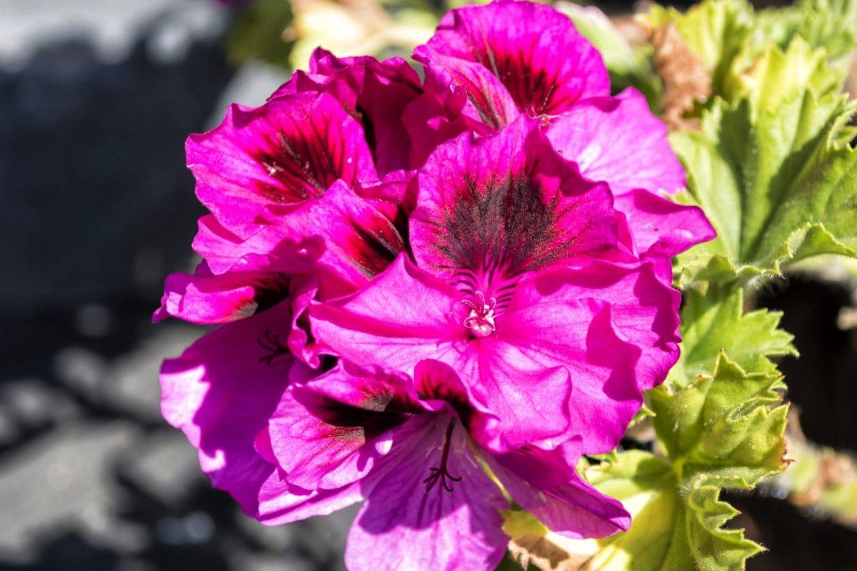 pétale, feuille, jardin, fleur, nature, été, pétunia rose, rose