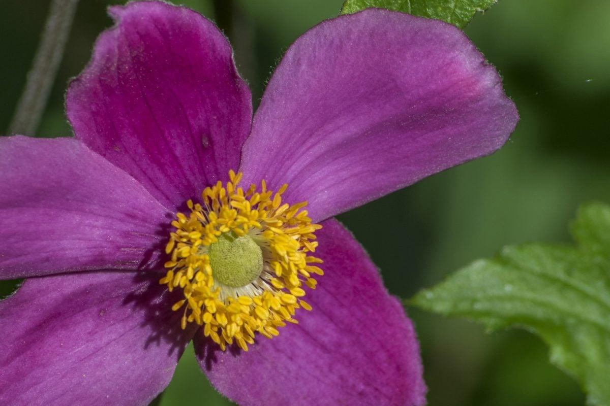 kukka, luonto, lehti, siitepöly, nektaria, Puutarha, kesä, terä lehti, kasvi, vaaleanpunainen