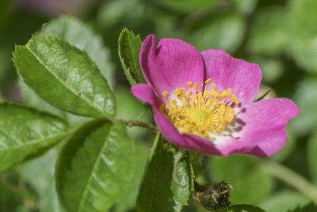 wild rose, leaf, nature, garden, summer, pink flower, plant, herb, blossom