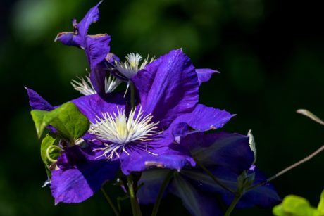 nature, garden, purple flower, leaf, summer, plant, herb, blossom