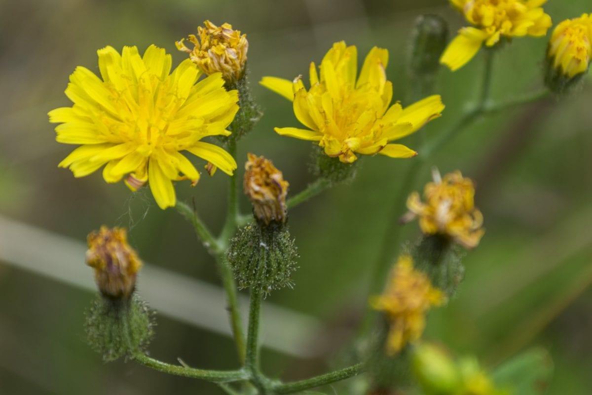 природа, листа, Градина, жълто цвете, билка