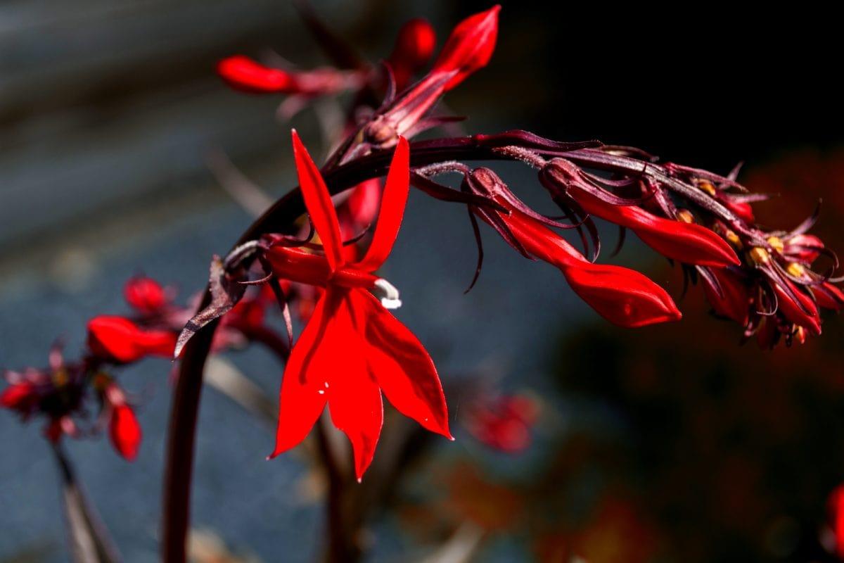 flor vermelha, vegetação, organismo, pólen, erva, vermelho