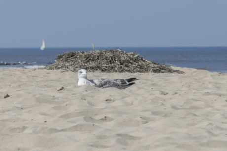 seagull, ocean, bird, animal, beach, seashore, sea, water, sand, coast, seaside