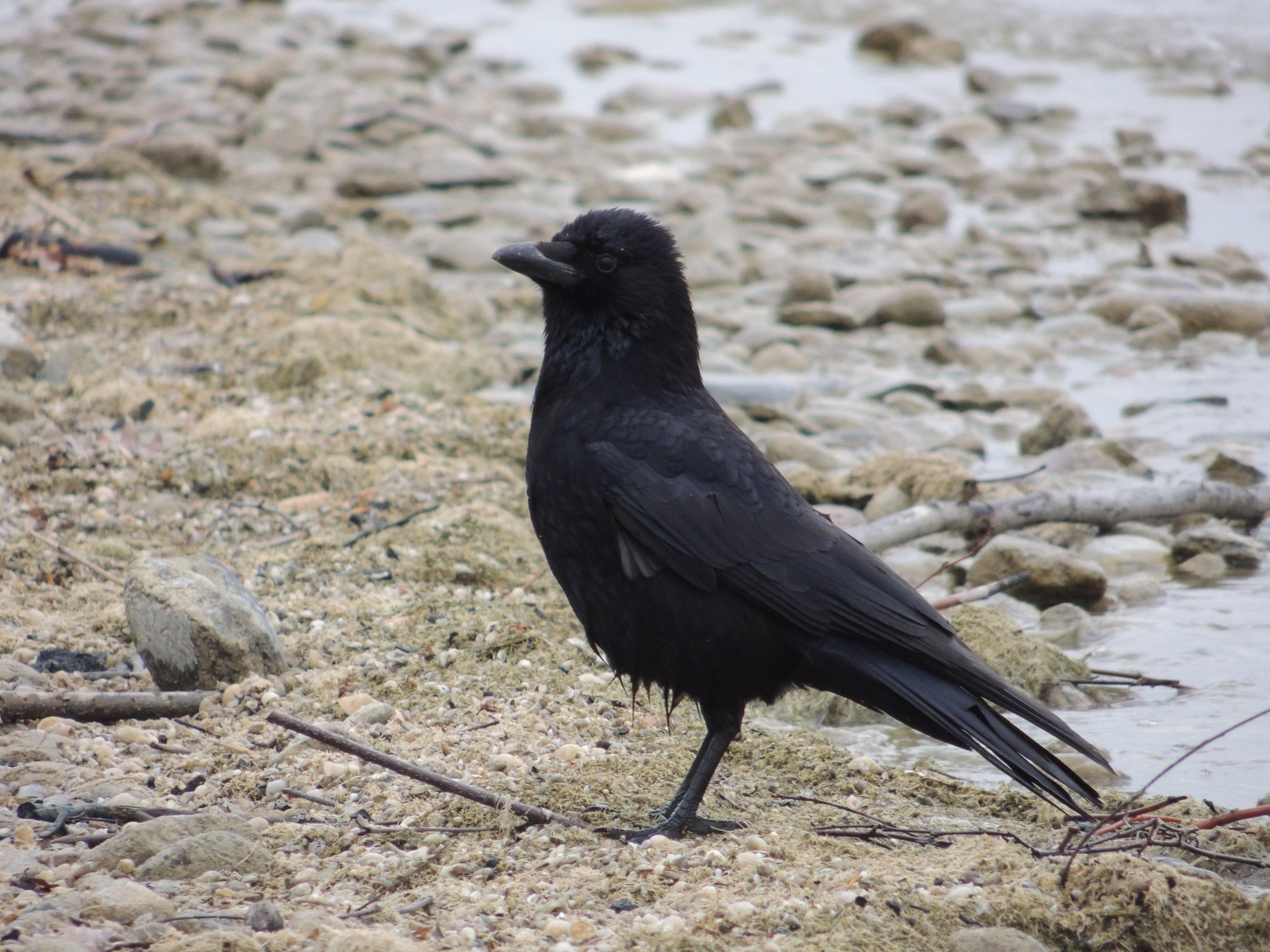 Www. μαύρο πουλί