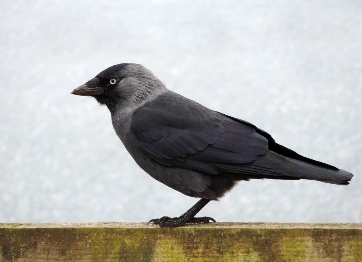 Divoká zvěř, pták, havran, zobák, divoký, peří, zvíře, venkovní