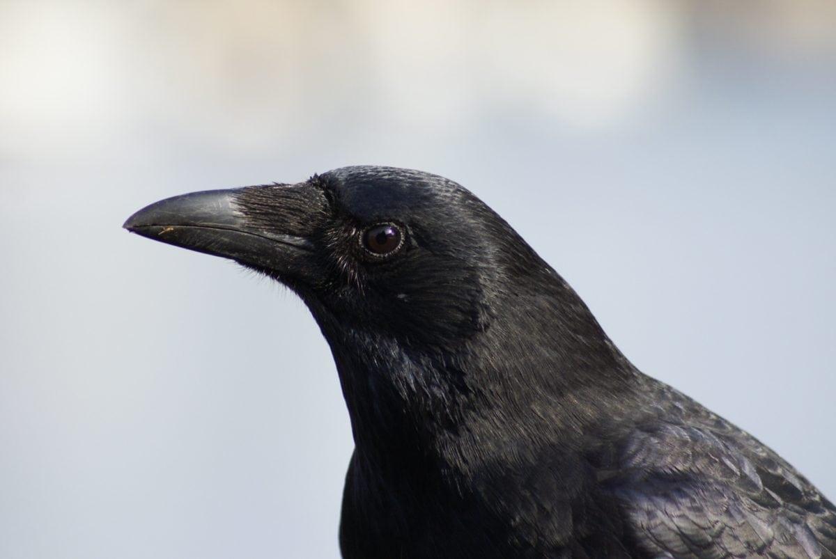 природа, ворон, дика природа, Blackbird, Ворона, птах, тварина, голова