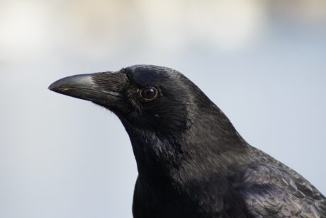 nature, raven, wildlife, blackbird, crow, bird, animal, head