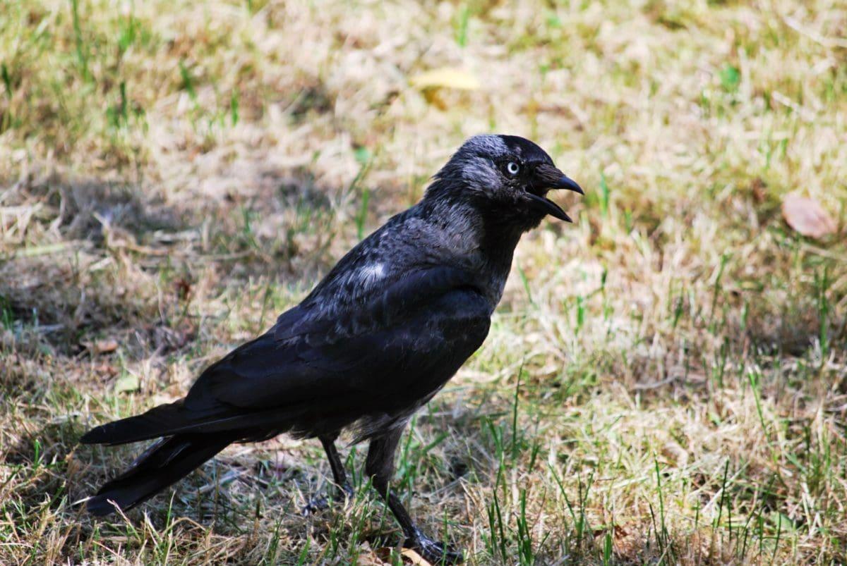 Crna ptica, gavran, priroda, divljina, životinja, Magpie, kljun, divlja, pero