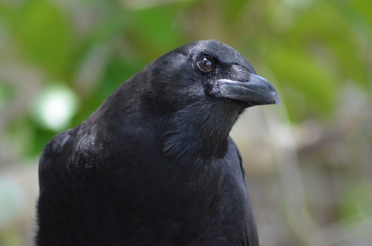 černý pták, divoká zvěř, příroda, Vrána, zobák, peří, divoký, zvíře