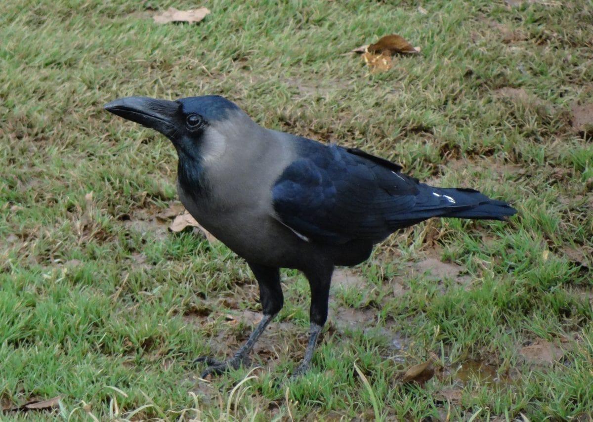 Corvo, uccello, natura, animale, fauna selvatica, becco nero, selvaggio, erba