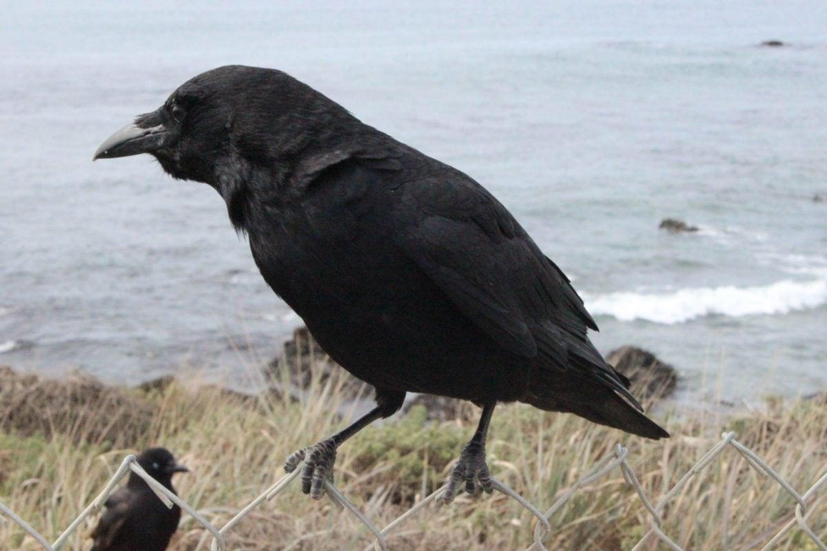 Divoká zvěř, černý pták, Vrána, divoký, zobák, peří, venk., tráva