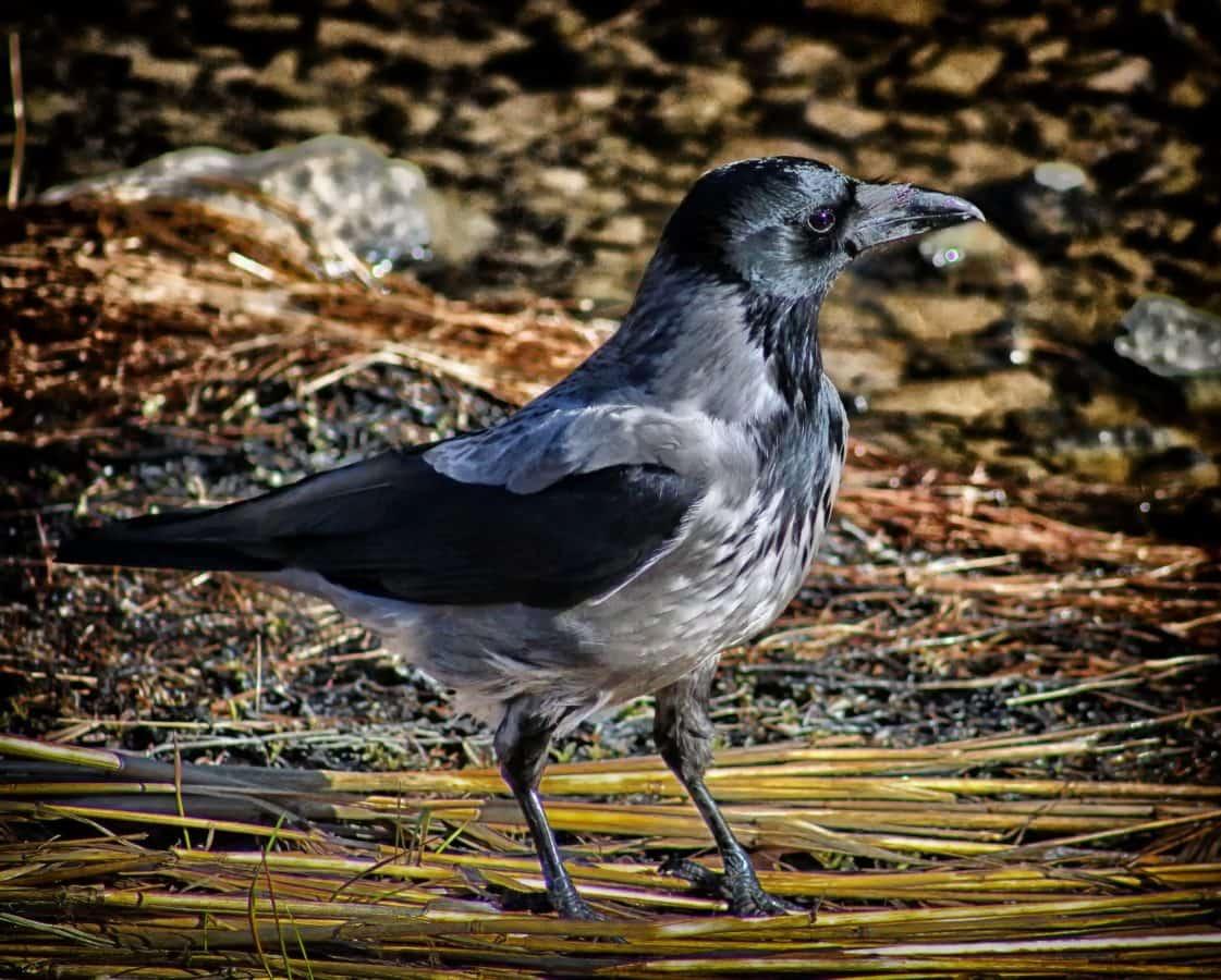 faune, oiseau, Corbeau, bec, animal, plume, sauvage