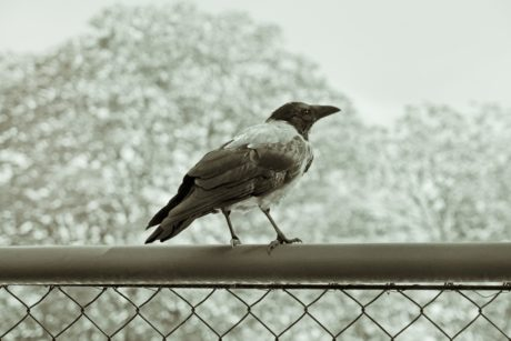 bird, wildlife, nature, raven, beak, monochrome, feather, fence, iron