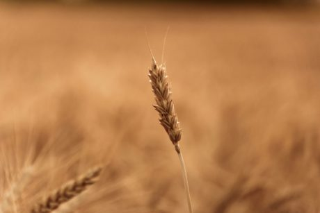 field, straw, cereal, nature, daylight, seed, agriculture, summer season