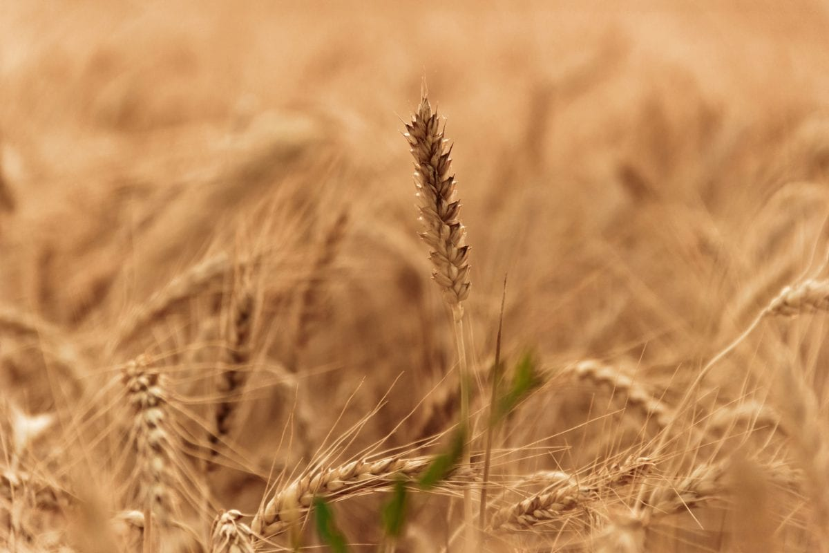 cereal, agriculture, countryside, farmland, seed, straw, field, outdoor