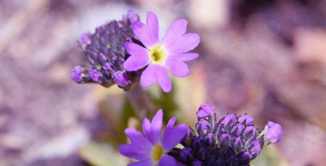 petal, garden, nature, flower, herb, plant, pink, blossom