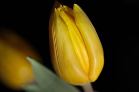 yellow flower, nature, tulip, plant, petal, blossom, bloom