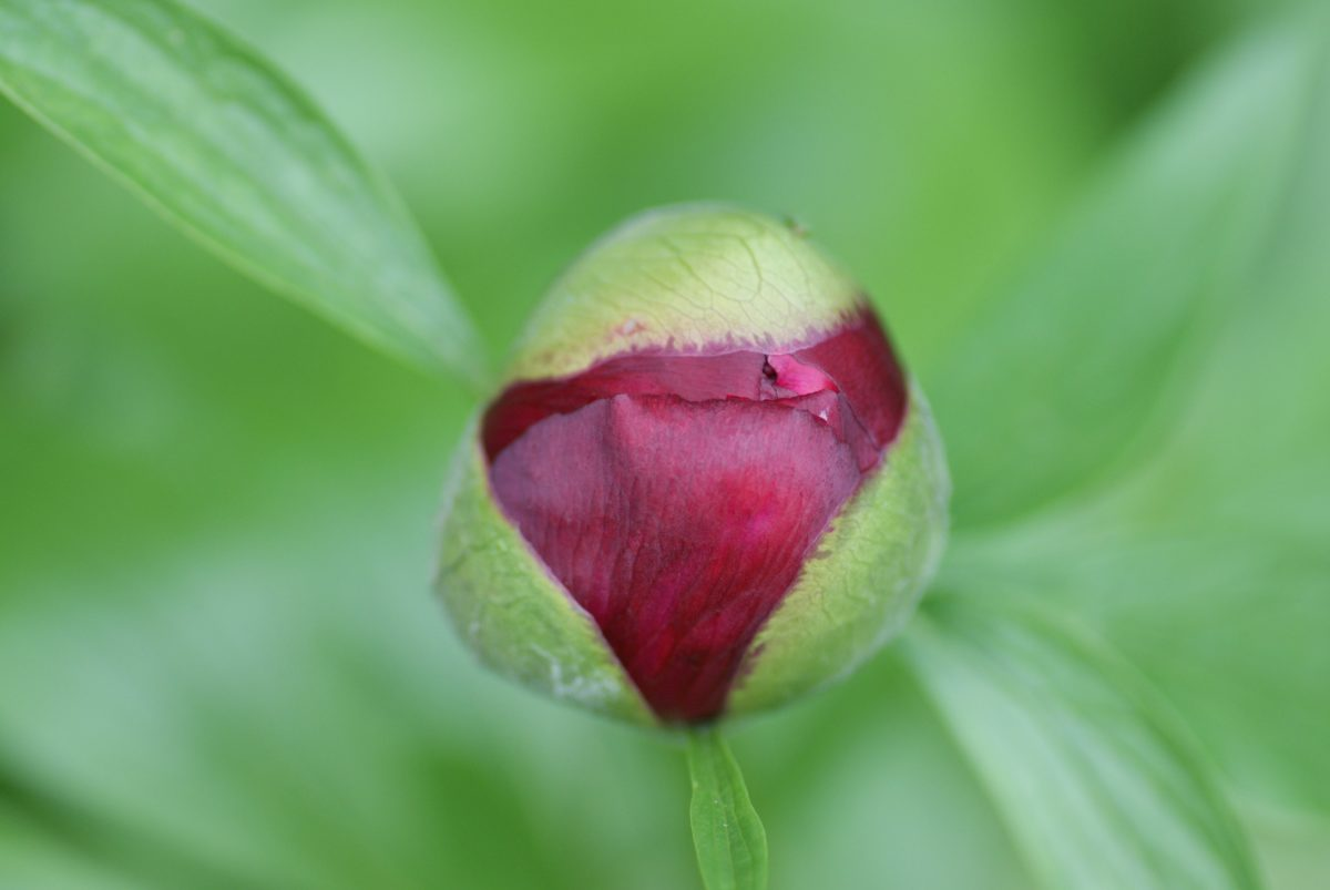 peony flower, summer time, nature, garden, green leaf, flower bud, plant