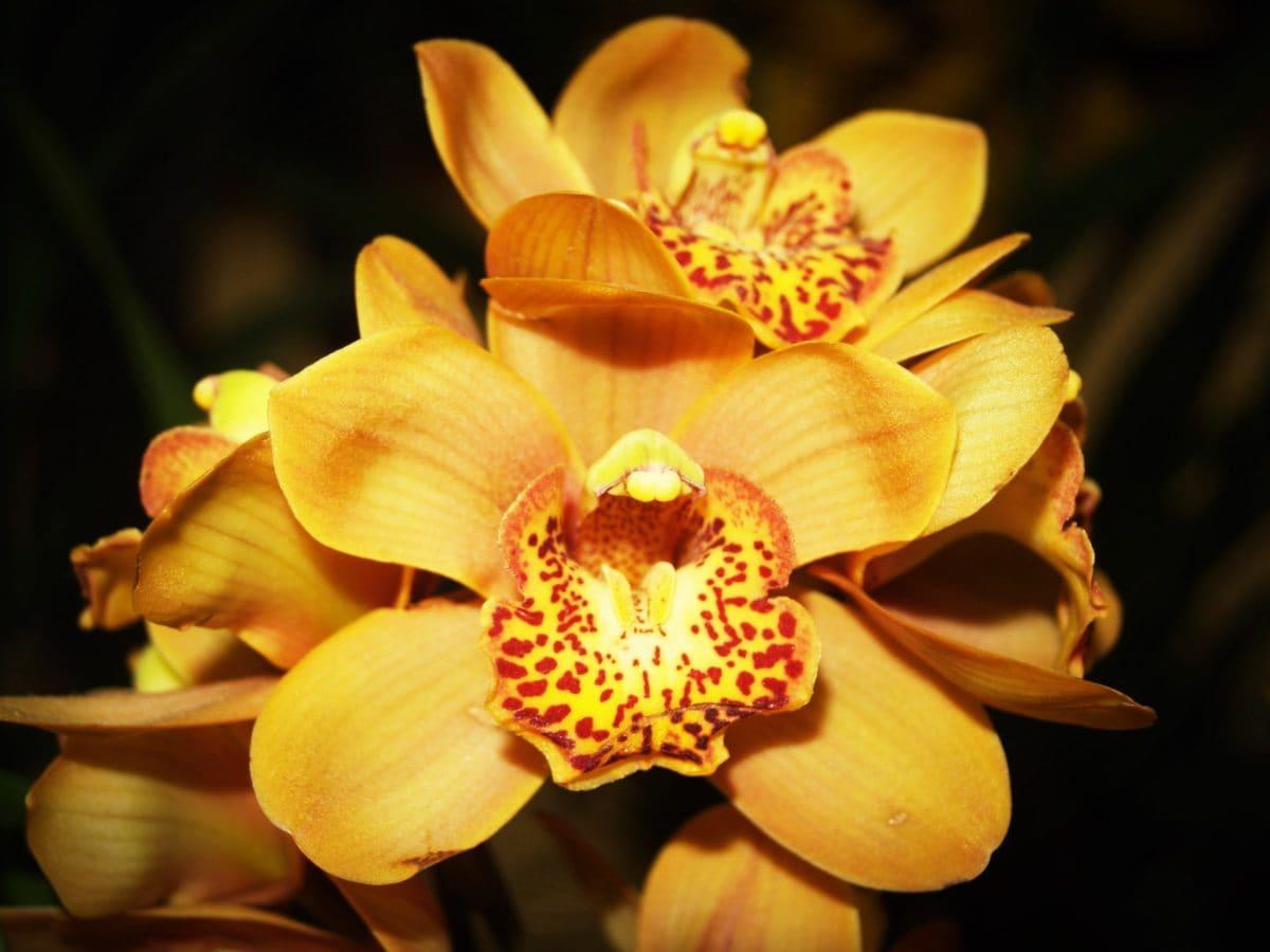 природа, венчелистче, орхидея цвете, листа, сянка, растение, Градина, цвят, разцвет