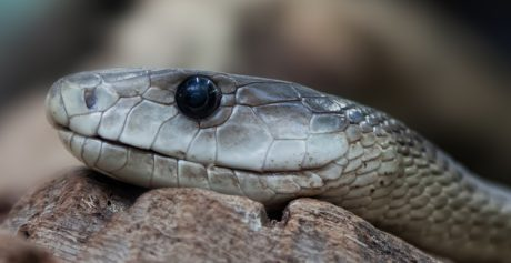 venom, snake head, reptile, wildlife, eye, animal, zoology, viper