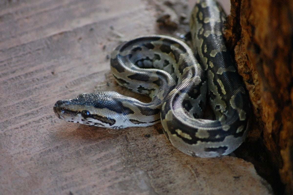 opasnost, otrov, životinja, priroda, divljina, reptil, Python, zmija